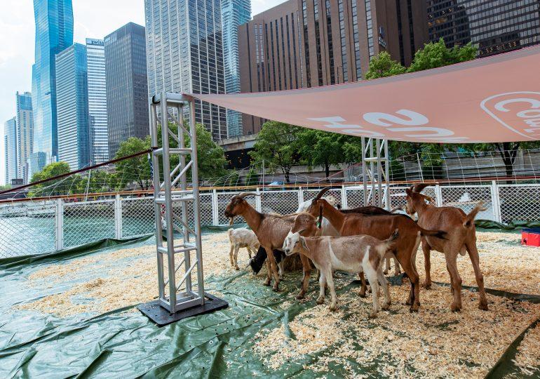Las Cabras de ComEd que trabajan despejando la vegetación,/ComEd Goats Take Break from Managing Vegetation